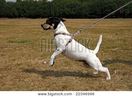 Small white dog pulling on a lead poster