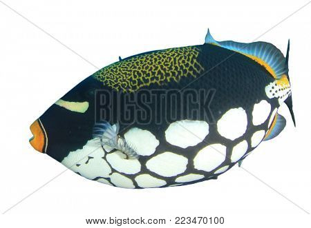 Clown Triggerfish tropical reef fish isolated on white background