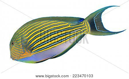 Striped Surgeonfish tropical reef fish isolated on white background