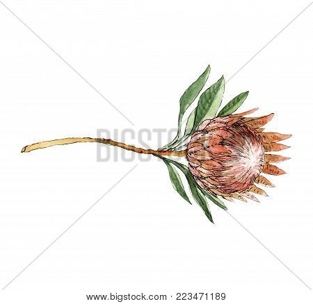 Watercolor protea flower with leaves decor element. Will be good for decor greeting cards, post cards, lettering, wedding and other invitations, site design, bussiness e-mail etc.