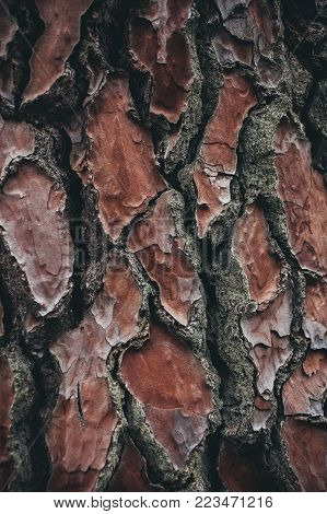 pine tree bark texture. Pine tree background. Abstract texture and background for designers. Natural pattern. Organic Abstract texture. Macro view of pine bark texture.