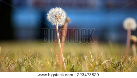 Dandelion is waiting for the wind to make it fly around the world. Blur blue sky and nature backdrop