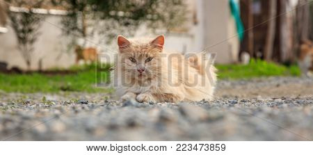 Cat, light brown color, is sitting on ground looking exactly at the camera. Blur nature backdrop.