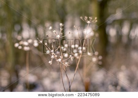 Snowflakes on dry flowers of dried plants.
