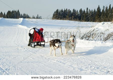 POLAZNA, RUSSIA - JANUARY 21, 2018: two huskies, with cheerful and gloomy expressions of the muzzles, pulling a sleigh with a participant in dog sled races in the Perm krai.