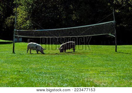 Strange volley match with pigs in a sunny afternoon