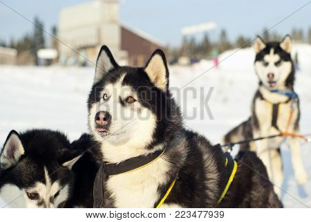 Muzzle of a Siberian husky with different eyes, harnessed to a sleigh and looking at his master, closeup on a blurred background