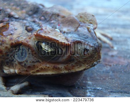 Close up of the head of an Australian cane toad