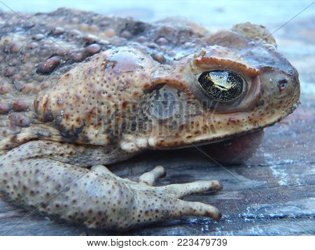 Side on view of an Australian cane toad