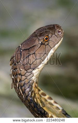 Cobra snake close up portrait