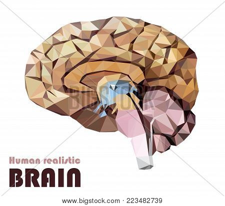 Realistic human brain in low poly. Colourful dissected brain. Brain Bisection. Cerebrum, epithalamus brainstem, cerebellum, cortex, thalamus, hippocampus, hypothalamus, cerebral lobes. Vector