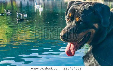 Rottweiler Dog And Nature Lover ; Lovely Dog