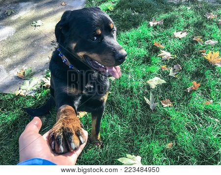 noble and loyal stance of your Rottweiler dog