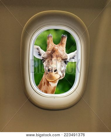 Gorgeous giraffe looking in through the window of an airplane with space for text. Giraffe looking at the camera as if to say Peek a Boo.
