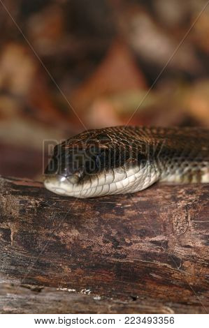 A portrait showing the head of a large western rat snake, also known as a black rat snake.