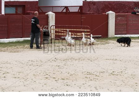 COLMENAR VIEJO - APRIL 25, 2015: Herding dog working ducks during a demonstration in Colmenar Viejo, Madrid, Spain on April 25, 2015