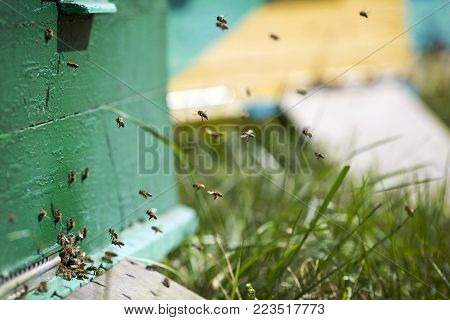 The bees at front hive entrance close up. Bee flying to hive. Honey bee drone enter the hive. Hives in an apiary with working bees flying to the landing boards.