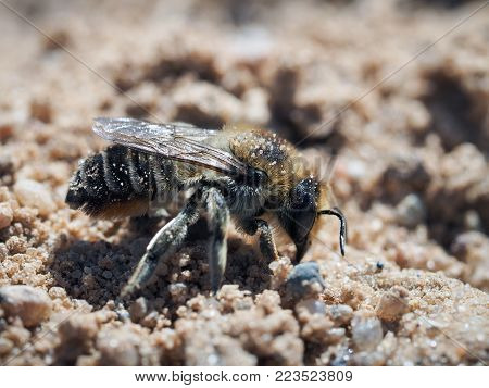 Wild earthy leaf - cutting bees Megachilidae. The insect digs a hole in the sand
