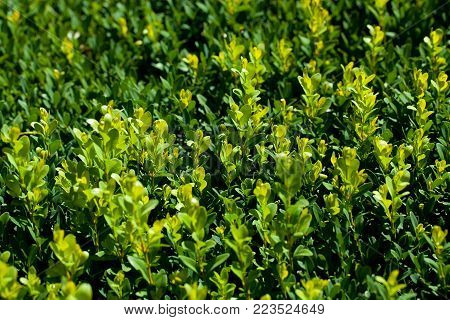 macro detail of green conifer hedge background
