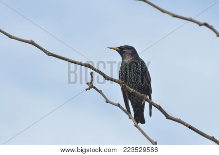 Common starling (Sturnus vulgaris) on branch in spring