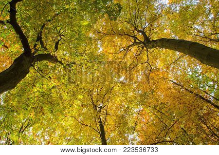 AUTUMN - Canopy of colorful beech leaves