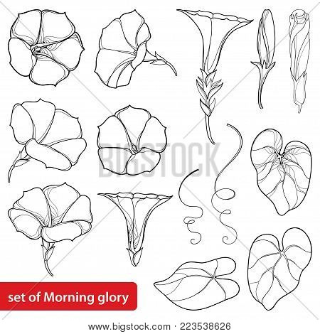 Vector set with outline Ipomoea or Morning glory flower bell, leaves and bud in black isolated on white background. Perennial climbing plant in contour style for summer design and coloring book.