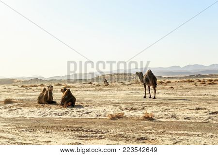 panoramic view of dromedary family in the moroccan desert