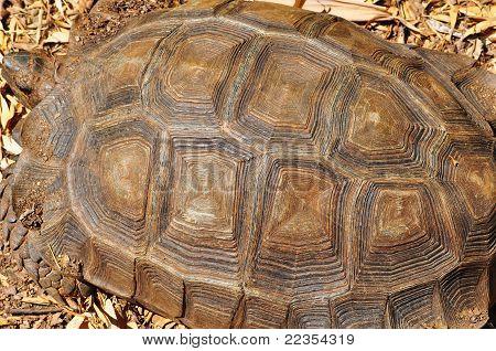 Giant Turtoise