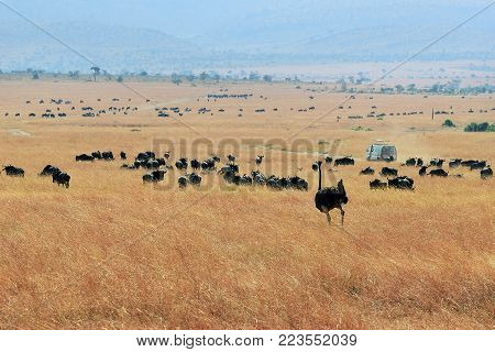 Female African ostrich and wildebeest antelopes in savannah at sunset. National park of Masai Mara, Kenya, Africa
