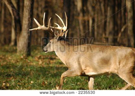 Buck 10