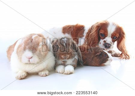 Animals together. Real pet friends. Rabbit dog guinea pig animal friendship. Pets loves each other. Cute lovely cavalier king charles spaniel puppy cavy lop photo. Isolated white background. Cute.