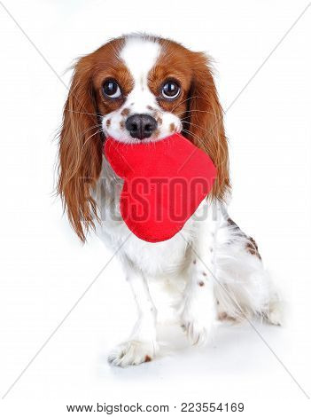 Valentines day photo. Dog with hear. Puppy with plush sof heart. Valentine's day spaniel. Puppy love. Cute king charles for every concept. Pet.