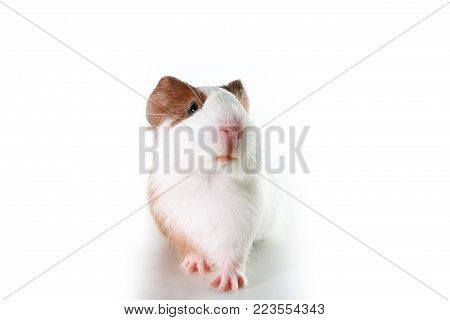 Guinea pig on studio white background. Isolated white pet photo. Sheltie peruvian pigs with symmetric pattern. Domestic guinea pig Cavia porcellus or cavy. Cute.