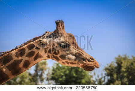 Portrait of a giraffe. Blue sky background
