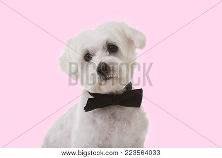 studio shot of cute maltese dog in bow tie over pink background