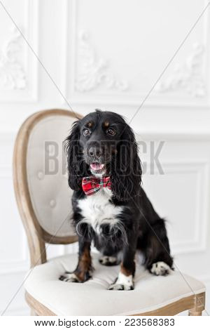 Dog spaniel in a red bow tie in the interior of the light room. Pet is three years old. Red checkered necktie