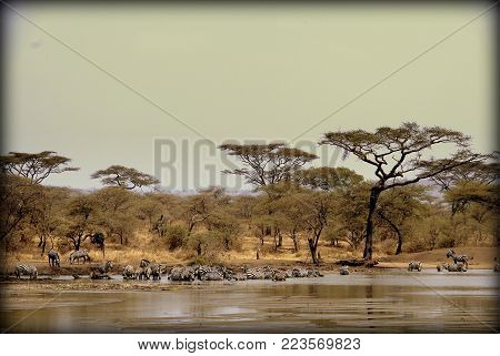 Zebras having a bath and drinking in the sabana
