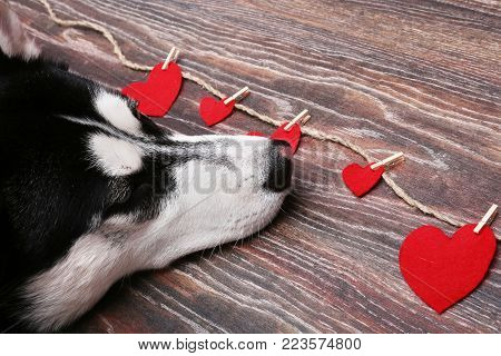 Siberian husky dog near the red hearts. Decoration for Valentine's day