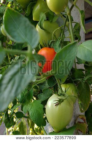 Tomatoes In The Garden,vegetable Garden