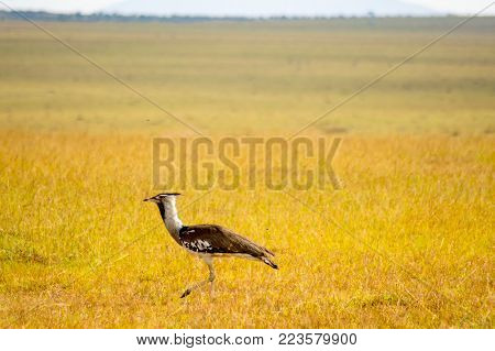 Secretary Bird or Secretary Bird (Sagittarius snake) in the savannah of Kenya, Africa