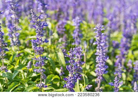 Close up with blooming Blue Salvia(Salvia farinacea) flowers in the garden