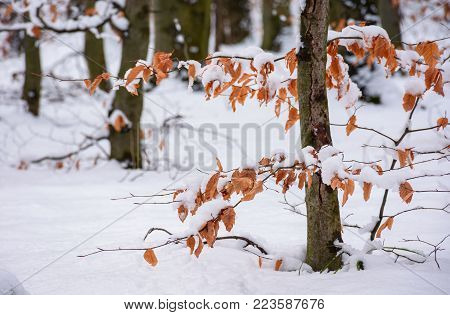 weathered foliage in snowy forest. beautiful winter nature background