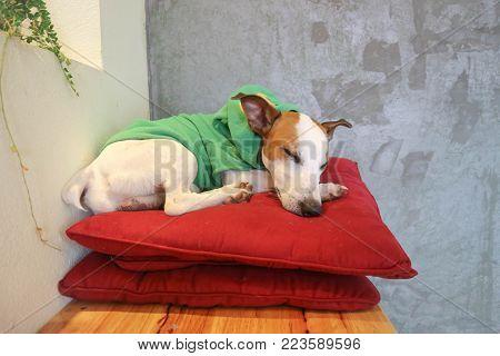 sleeping dog or jack russel dog on the cushion