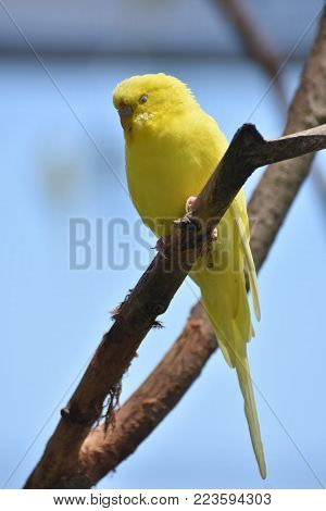 Adorable Budgie Parakeet Relaxing in a Tree