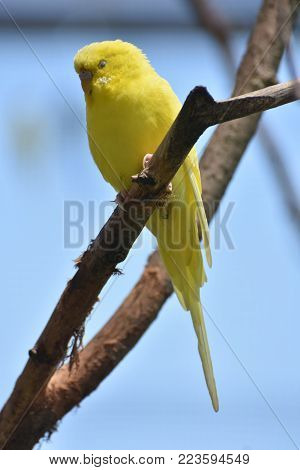 Adorable Yellow Budgie Parakeet in a Tree