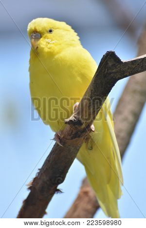 Adorable Little Yellow Budgie on a Branch