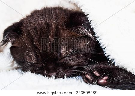 Scottish Fold kitten in a plaid on white background. Love and greeting card