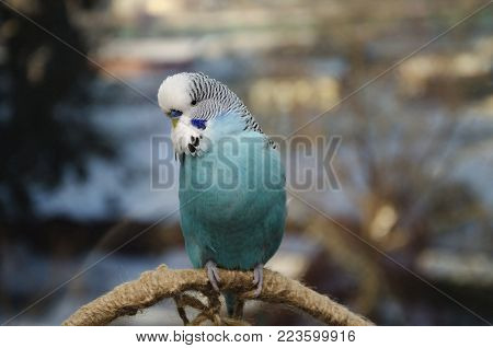 a domestic pet, a blue wavy parrot, sits on a chord, against the backdrop of the city