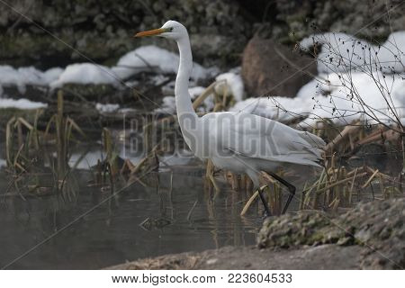 A Great white heron Ukraine 2018 Wildlife scene from nature. Heron with snow in the nature habitat. Cold snowy winter in Europe.