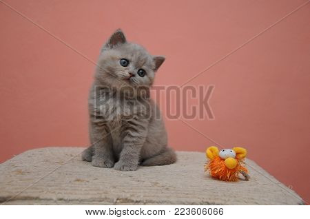 British Shorthair Kitten With Orange Background, Adorable And Cute Baby Kitten